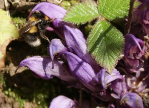 White-tailed Bumblebee pollinating Purple Toothwort
